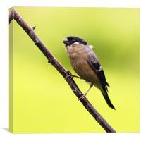 Bullfinch, Canvas Print