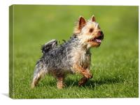 Yorkshire Terrier, Canvas Print