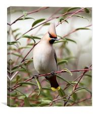 Waxwing, Canvas Print