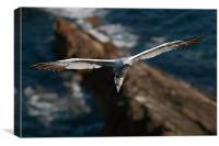 Northern Gannet, Canvas Print