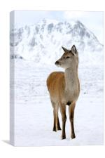 Red Deer, Canvas Print