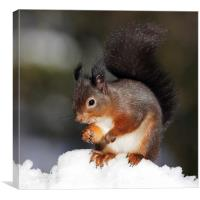 Red Squirrel in snow, Canvas Print
