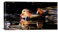 Male Mandarin Duck, Canvas Print