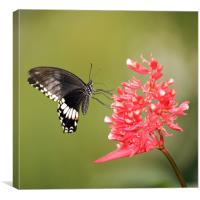 Citrus Swallowtail, Canvas Print