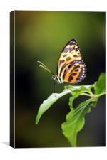 Harmonia Tiger Wing, Canvas Print