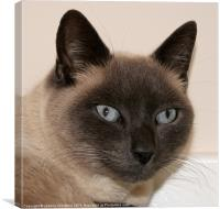 Max The Tonkinese