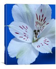 White Alstroemeria, Canvas Print