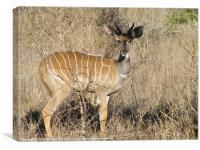 Bongo Antelope, Canvas Print