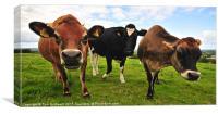 Curious cows, Canvas Print