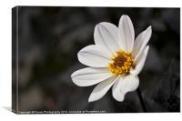 White Chrysanthemum Flower, Canvas Print
