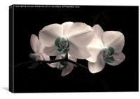WHITE FROST ORCHID, Canvas Print