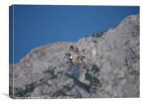 Falcon in flight, Canvas Print