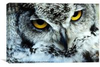 Snowy Owl with eyes staring, Canvas Print
