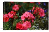Pink Geraniums, Canvas Print