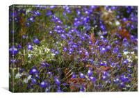 Purple Lobelia