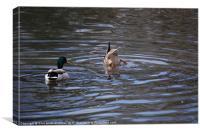 Ducking Duck 1, Canvas Print