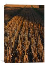 Cut Wheat, Canvas Print