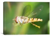 Hover Fly in Flight, Canvas Print
