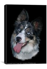 Blue Merle Collie, Canvas Print