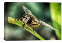 Hoverfly time, Canvas Print