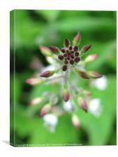Enchanter's Nightshade, Circaea lutetiana, Canvas Print