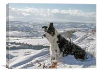Snow Collie, Canvas Print