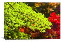 Acer colours, Canvas Print