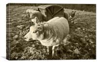 Morning Sheep, Canvas Print