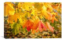 Maple Autumn Colours, Canvas Print
