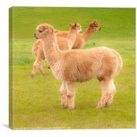 Llamas, Canvas Print