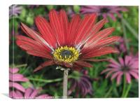 Red Daisy - Macro, Canvas Print