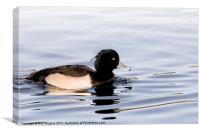 Tufted Duck Male, Canvas Print