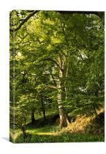 Beech Tree, Canvas Print
