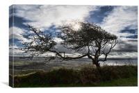 Windswept Hawthorn, Canvas Print
