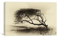 Windswept Hawthorn, Canvas Print