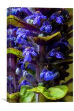 Blue Bugle, Canvas Print