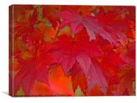 autumn reds, Canvas Print