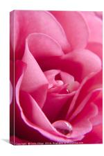 delicate rose, Canvas Print