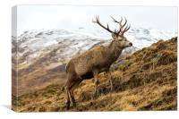 Royal Red Deer Stag in Winter, Canvas Print