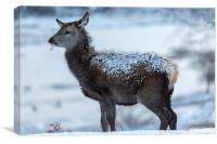 Red Deer Hind In The Snow, Canvas Print