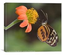 Butterfly Feeding, Canvas Print