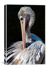 Pelican Preening, Canvas Print