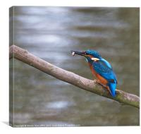 Kingfisher with fish on branch, Canvas Print