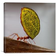 Ant carrying a leaf, Canvas Print
