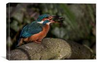 Kingfisher turning a fish, Canvas Print