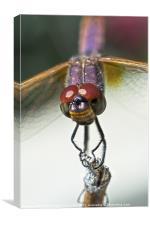 Violet Dropwing Dragonfly, Canvas Print