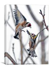 Fighting finches, Canvas Print
