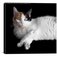 Calico Cat on Black, Canvas Print