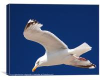 Blackpool Gull, Canvas Print