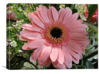 Pink Gerbera Daisy with dark center, Canvas Print